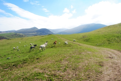 13-the-track-turns-south-and-the-carneddau-appear-again-wild-ponies-roam-the-carneddau